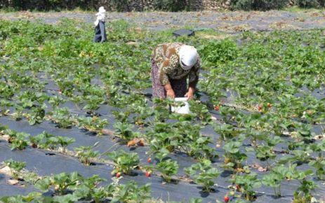 Kahramanmaraş'ta çilek çiftçiye umut oldu
