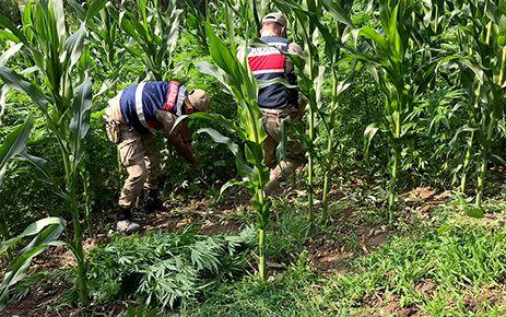 Kahramanmaraş'ta mısır tarlasına kenevir dikti