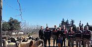 Kahramanmaraş''ta hayvan hırsızlığı