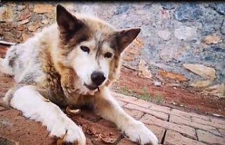 Kahramanmaraş'ta köpek badem, ceviz ve tarhana...