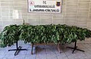 Kahramanmaraş'ta kenevir operasyonu