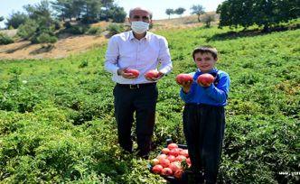 Bulanık domatesi hasadı
